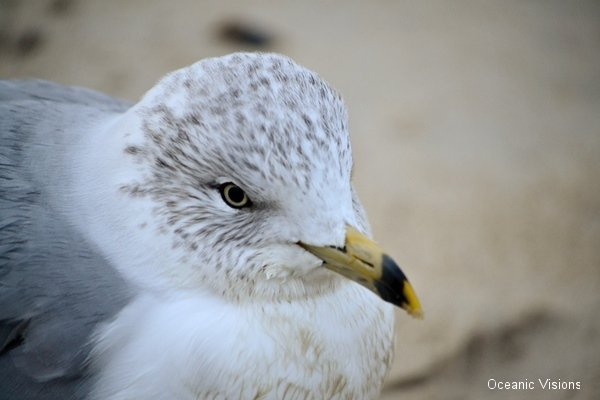morning-gull