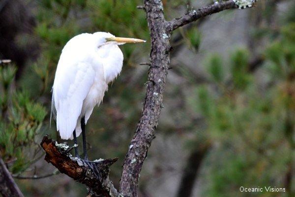 white-egret
