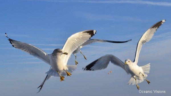 seagulls-flight