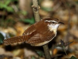 Carolina Wren courtesy of National Geographic.