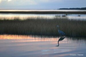 Reflections, Great Blue Heron still-fishing at dusk on Assateague Island.