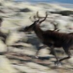 """Roamaing herds of caribou..."""