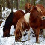 Assateague Island wild ponies on the Virginia Atlantic Ocean shore.