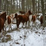assateague-ponies