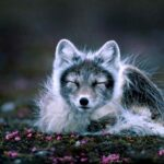 1082. Brithe's Arctic Fox, Part 1